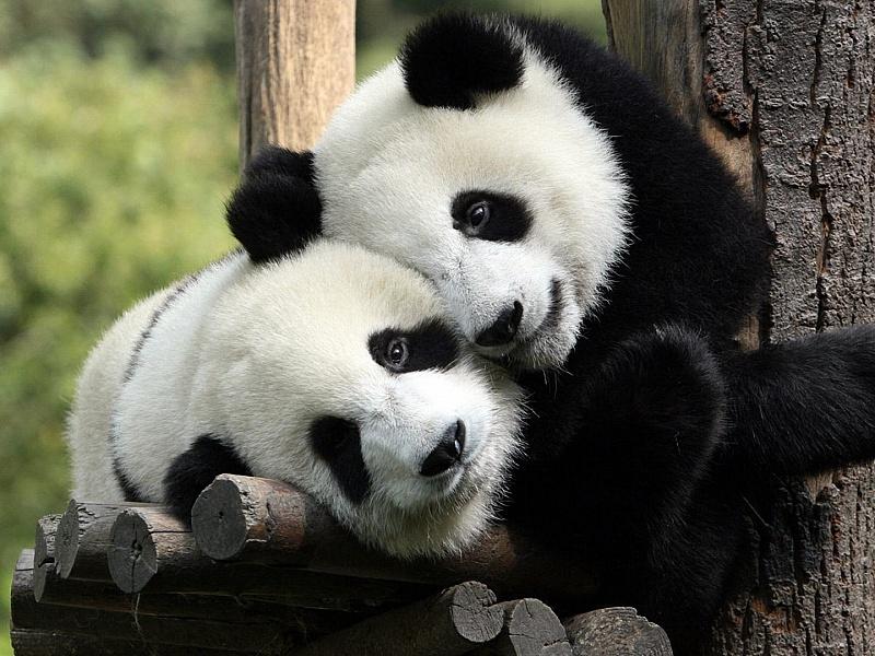 Пазл Собирать пазлы онлайн - Панды-милашки