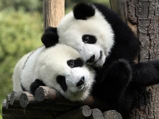 Собирать пазл Панды-милашки онлайн