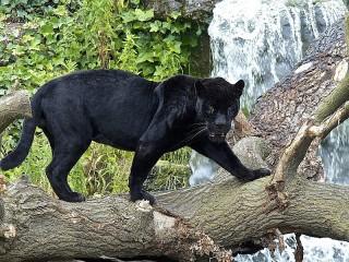 Собирать пазл Пантера на дереве онлайн