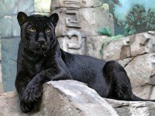 Собирать пазл Пантера онлайн