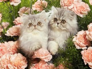 Собирать пазл Кошачья пара онлайн