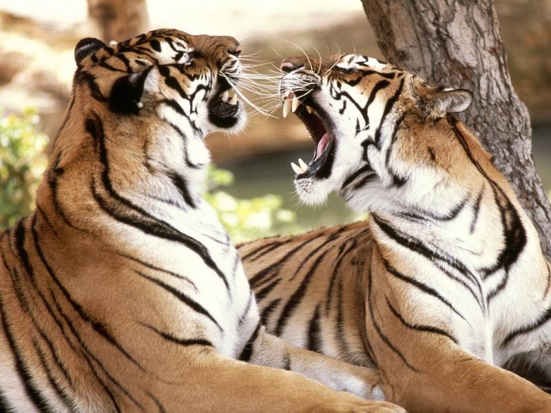 Пазл Собирать пазлы онлайн - Пара тигров