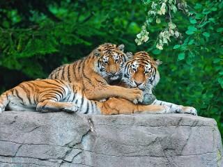 Собирать пазл Пара тигров онлайн
