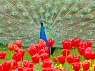 Собирать пазл Павлин и цветы онлайн
