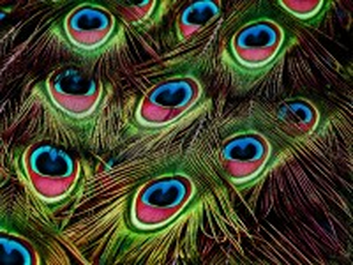 Собирать пазл Павлиньи перья онлайн