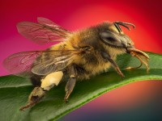 Собирать пазл Пчела онлайн