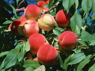 Собирать пазл Персиковый сад онлайн