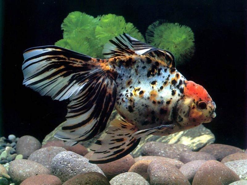 Пазл Собирать пазлы онлайн - Пестрая рыбка