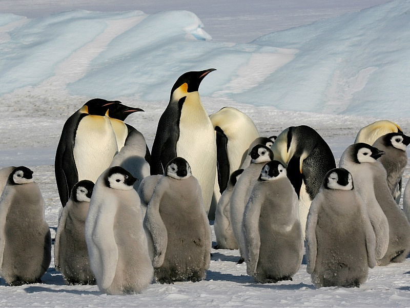 Пазл Собирать пазлы онлайн - Пингвины