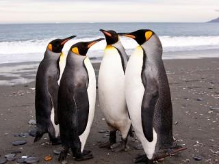 Собирать пазл Пингвины онлайн