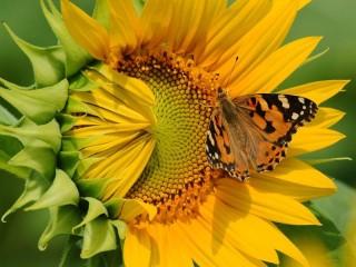 Собирать пазл Подсолнух и бабочка онлайн