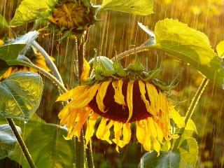 Собирать пазл Подсолнух под дождем онлайн