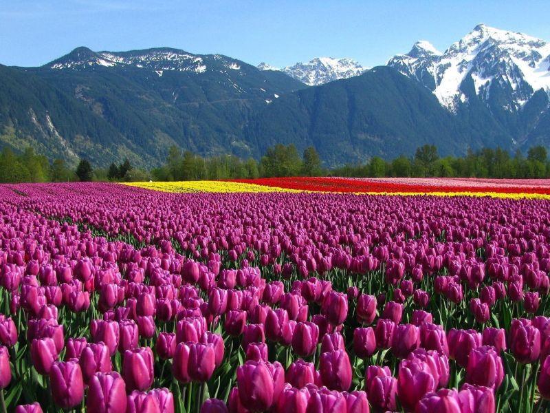 Пазл Собирать пазлы онлайн - Поле тюльпанов