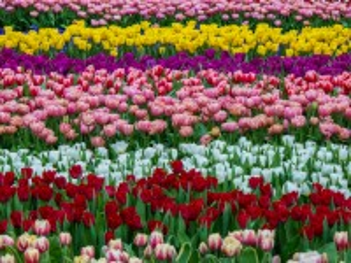 Собирать пазл Поле тюльпанов онлайн
