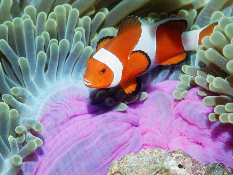 Пазл Собирать пазлы онлайн - Полосатая рыбка