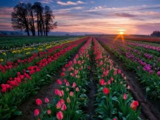 Собирать пазл Поля тюльпанов онлайн