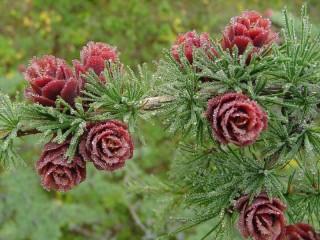 Собирать пазл Полярная роза онлайн