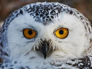 Собирать пазл Полярная сова онлайн