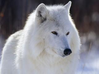 Собирать пазл Полярный волк онлайн