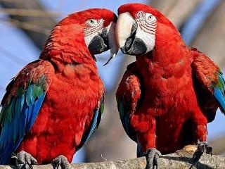 Собирать пазл Попугаи онлайн