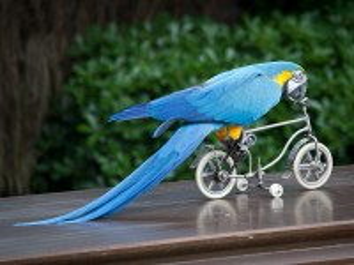 Собирать пазл Попугай на велике онлайн