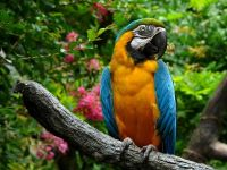 Собирать пазл Попугай Ара онлайн
