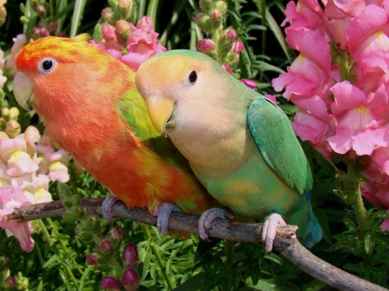 Пазл Собирать пазлы онлайн - Попугайчики