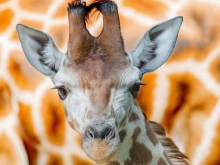 Собирать пазл Портрет жирафа онлайн