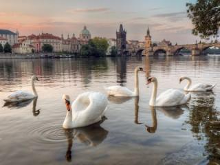 Собирать пазл Пражские лебеди онлайн