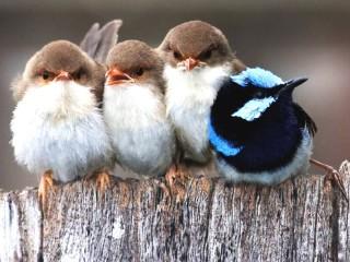 Собирать пазл Птичий квартет онлайн