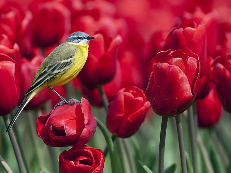 Пазл Собирать пазлы онлайн - Птичка на тюльпане