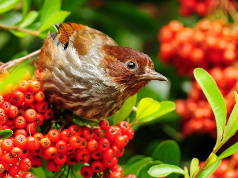 Пазл Собирать пазлы онлайн - Птица и рябина