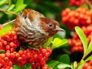 Собирать пазл Птица и рябина онлайн