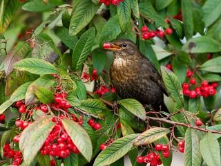 Собирать пазл Птица на кусте онлайн