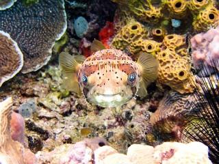 Собирать пазл Пучеглазая рыбка онлайн