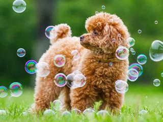 Собирать пазл Пудель и пузыри онлайн