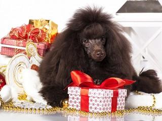 Собирать пазл Пудель в подарок онлайн