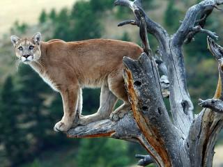 Собирать пазл Пума на дереве онлайн