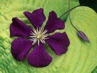 Собирать пазл Пурпурный клематис онлайн