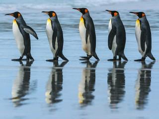Собирать пазл Пять пингвинов онлайн