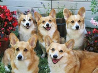 Собирать пазл Пять собак онлайн