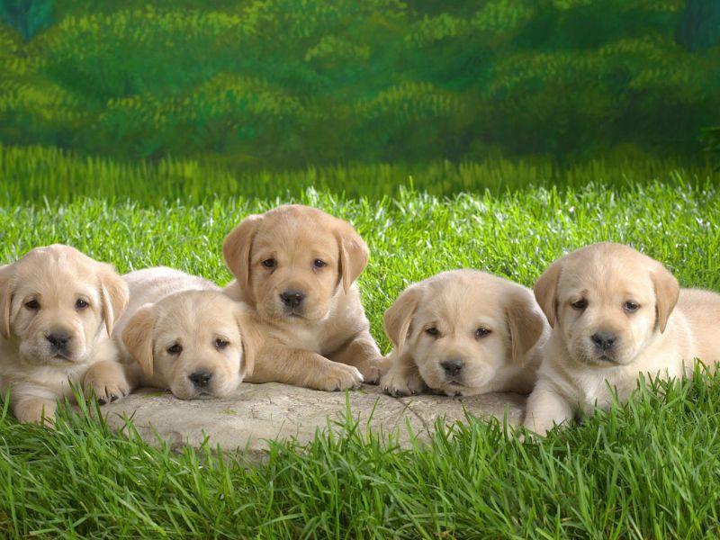 Пазл Собирать пазлы онлайн - Пятеро щенят