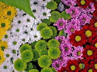 Собирать пазл Радуга хризантем онлайн