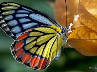 Собирать пазл Радужная бабочка онлайн