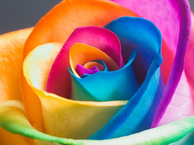 Пазл Собирать пазлы онлайн - Радужная роза