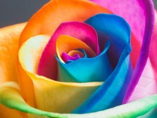 Собирать пазл Радужная роза онлайн