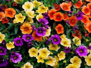 Собирать пазл Разноцветная петуния онлайн