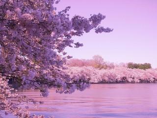 Собирать пазл Река и сакура онлайн
