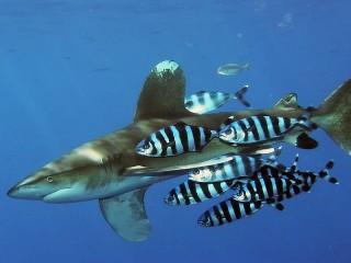 Собирать пазл Рыбы-лоцманы и акула онлайн
