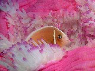 Собирать пазл Рыбка и актиния онлайн
